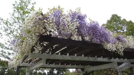 110507藤の花