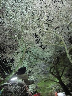 120418 桜の天井