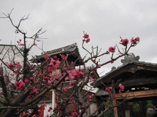 130310 寺の梅