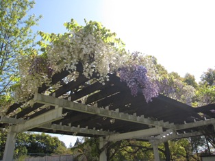 130503 藤の花